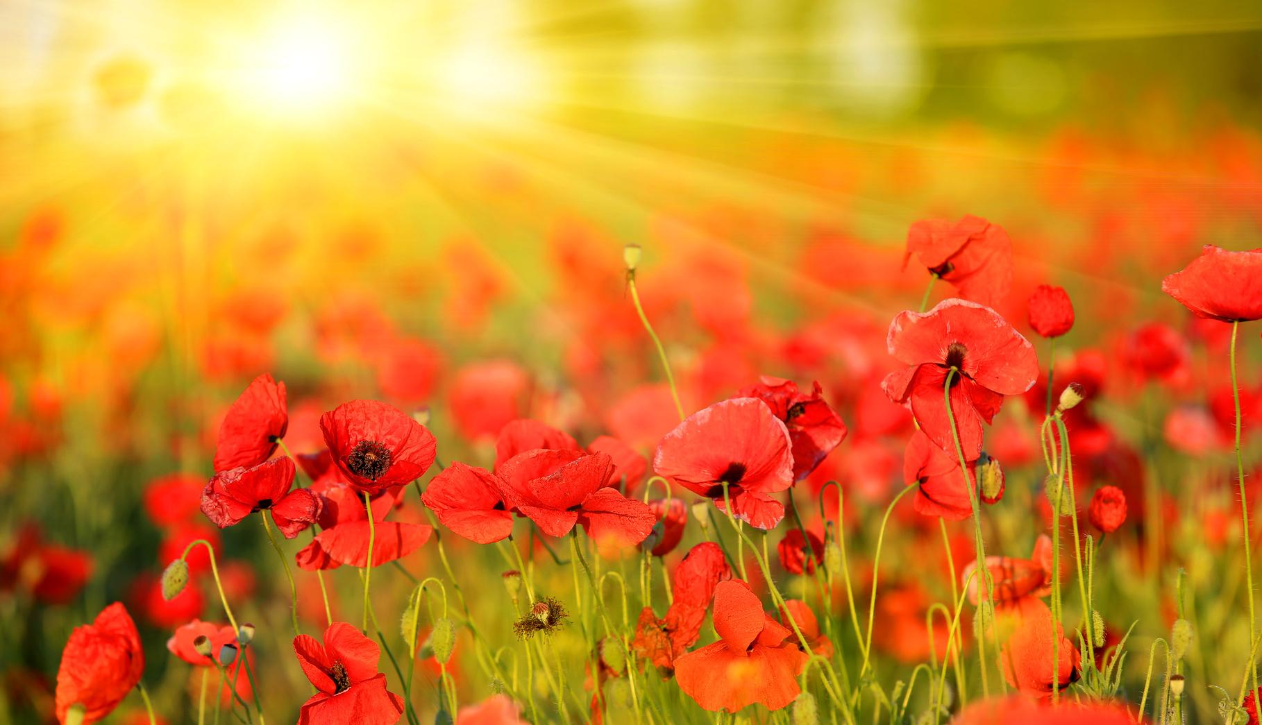 poppy field in summer day